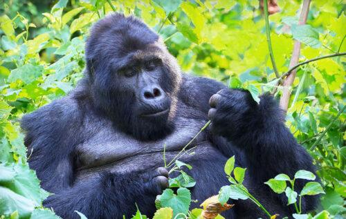 Gorilla - Wanyamapori